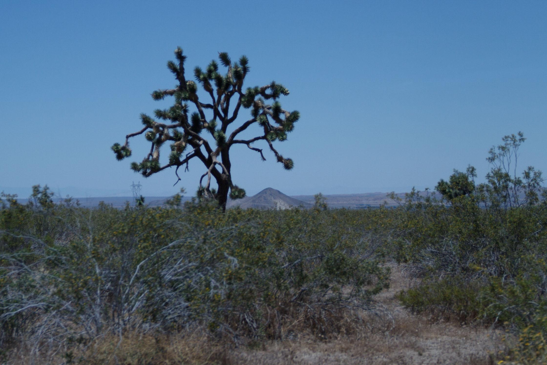 One of many Joshua trees